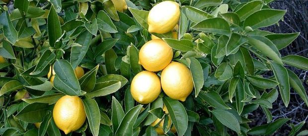 Lemon_tree Allen Timothy Chang